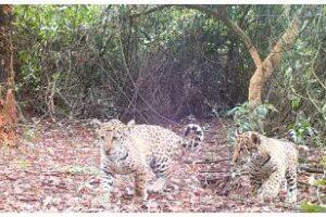 Parque Nacional Iberá: Liberan más yaguaretés