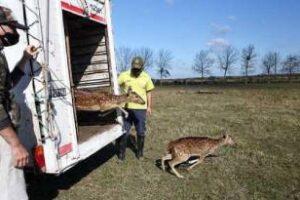 Ambiente trasladó a 5 ciervos axis, que eran mantenidos como mascotas