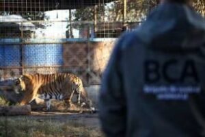 Ambiente:Rescató un tigre y una leona en allanamiento